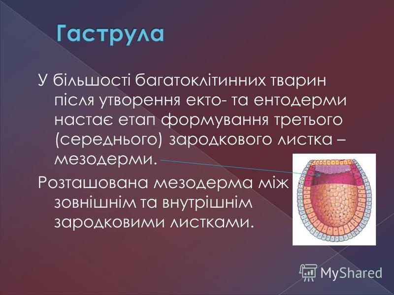 У більшості багатоклітинних тварин після утворення екто- та ентодерми настає етап формування третього (середнього) зародкового листка – мезодерми. Розташована мезодерма між зовнішнім та внутрішнім зародковими листками.