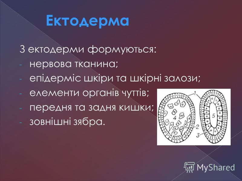 З ектодерми формуються: - нервова тканина; - епідерміс шкіри та шкірні залози; - елементи органів чуттів; - передня та задня кишки; - зовнішні зябра. Ектодерма