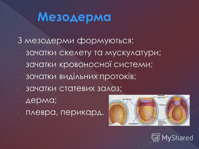 З мезодерми формуються: - зачатки скелету та мускулатури; - зачатки кровоносної системи; - зачатки видільних протоків; - зачатки статевих залоз; - дерма; - плевра, перикард. Мезодерма