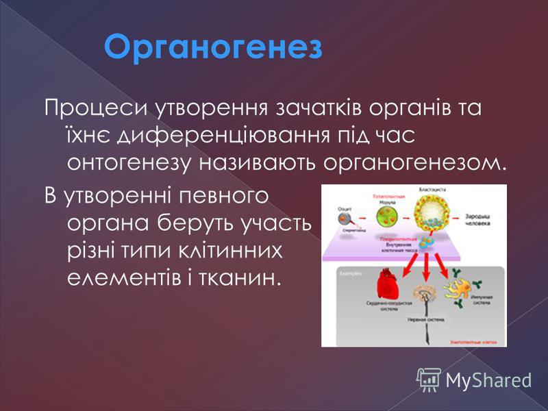 Процеси утворення зачатків органів та їхнє диференціювання під час онтогенезу називають органогенезом. В утворенні певного органа беруть участь різні типи клітинних елементів і тканин. Органогенез