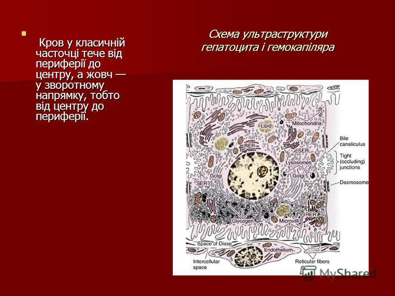 Схема ультраструктури гепатоцита і гемокапіляра Кров у класичній часточці тече від периферії до центру, а жовч у зворотному напрямку, тобто від центру до периферії. Кров у класичній часточці тече від периферії до центру, а жовч у зворотному напрямку,