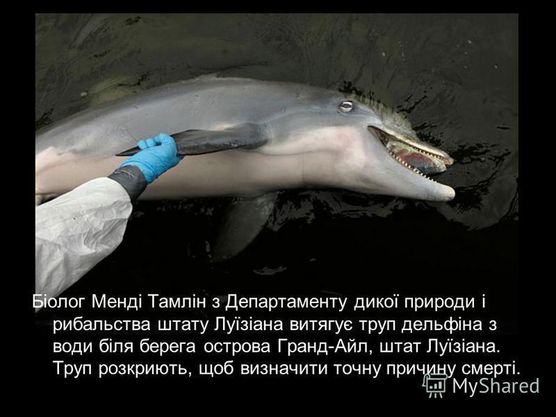 Біолог Менді Тамлін з Департаменту дикої природи і рибальства штату Луїзіана витягує труп дельфіна з води біля берега острова Гранд-Айл, штат Луїзіана. Труп розкриють, щоб визначити точну причину смерті.