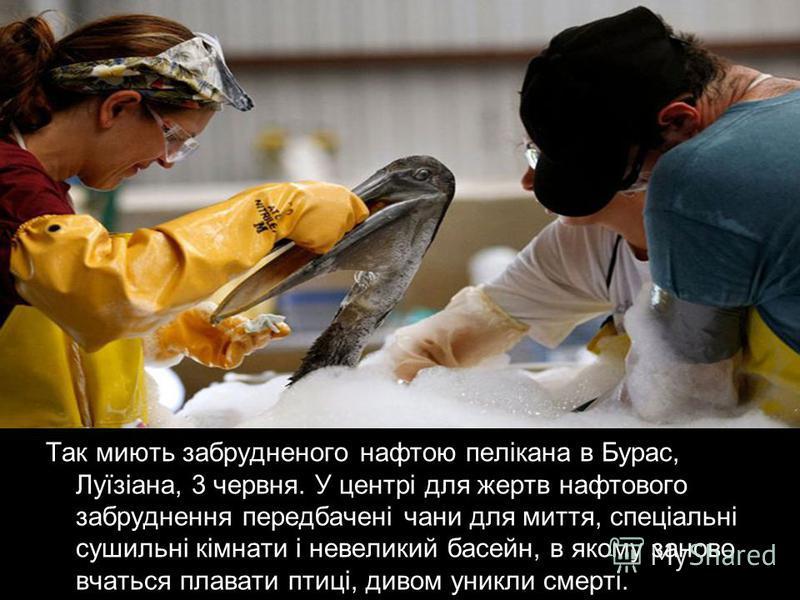 Так миють забрудненого нафтою пелікана в Бурас, Луїзіана, 3 червня. У центрі для жертв нафтового забруднення передбачені чани для миття, спеціальні сушильні кімнати і невеликий басейн, в якому заново вчаться плавати птиці, дивом уникли смерті.