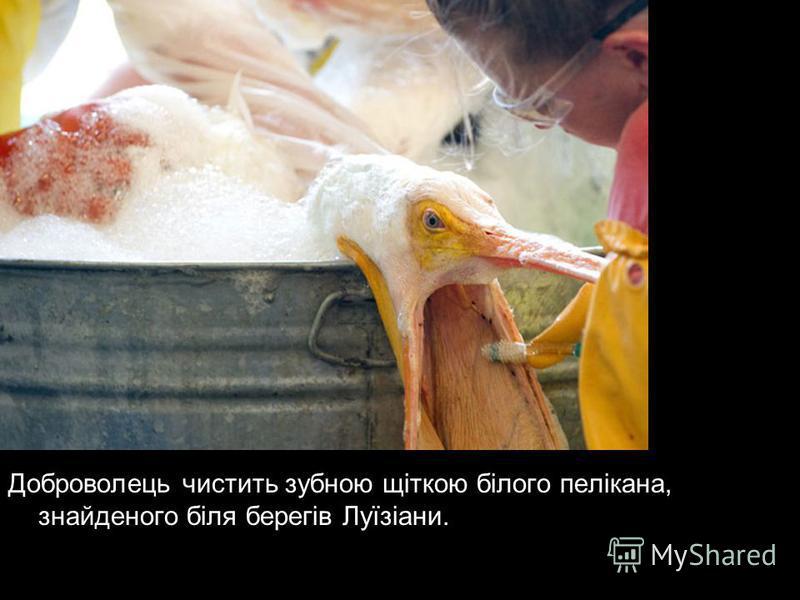 Доброволець чистить зубною щіткою білого пелікана, знайденого біля берегів Луїзіани.