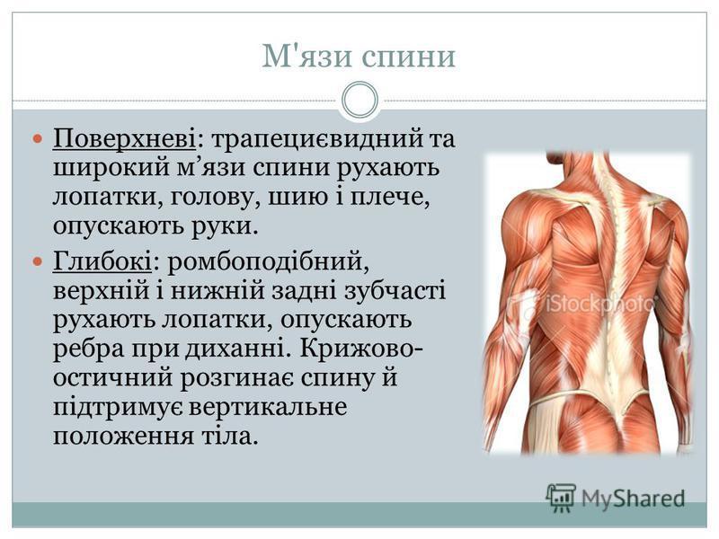 М'язи спини Поверхневі: трапециєвидний та широкий мязи спини рухають лопатки, голову, шию і плече, опускають руки. Глибокі: ромбоподібний, верхній і нижній задні зубчасті рухають лопатки, опускають ребра при диханні. Крижово- остичний розгинає спину