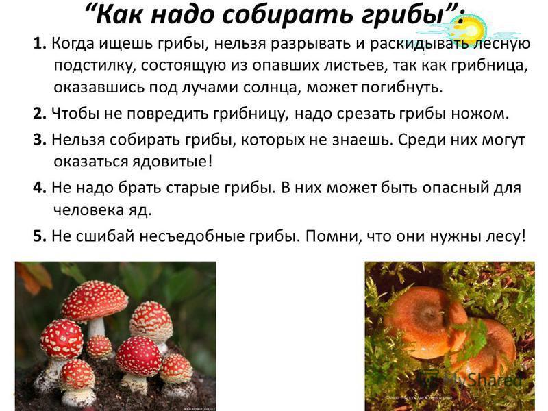 Как надо собирать грибы: 1. Когда ищешь грибы, нельзя разрывать и раскидывать лесную подстилку, состоящую из опавших листьев, так как грибница, оказавшись под лучами солнца, может погибнуть. 2. Чтобы не повредить грибницу, надо срезать грибы ножом. 3