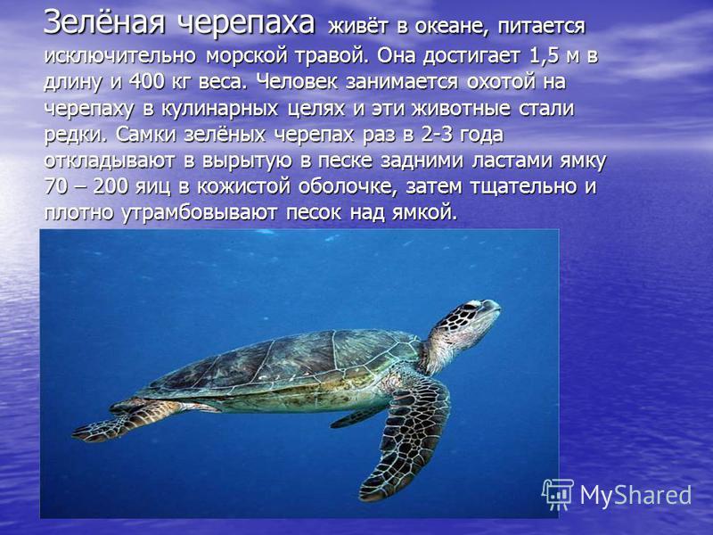 Зелёная черепаха живёт в океане, питается исключительно морской травой. Она достигает 1,5 м в длину и 400 кг веса. Человек занимается охотой на черепаху в кулинарных целях и эти животные стали редки. Самки зелёных черепах раз в 2-3 года откладывают в