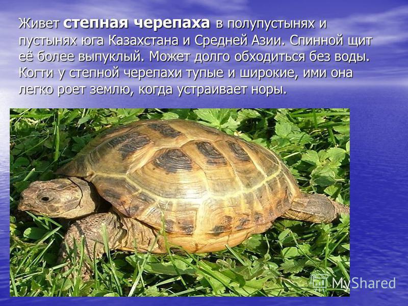 Живет степная черепаха в полупустынях и пустынях юга Казахстана и Средней Азии. Спинной щит её более выпуклый. Может долго обходиться без воды. Когти у степной черепахи тупые и широкие, ими она легко роет землю, когда устраивает норы.