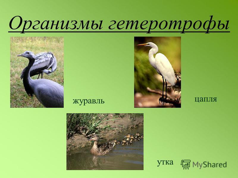 Организмы гетеротрофы журавль цапля утка