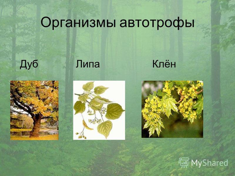 Организмы автотрофы Дуб Липа Клён