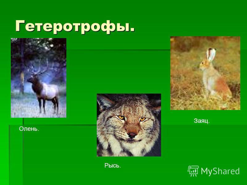 Гетеротрофы. Олень. Рысь. Заяц.