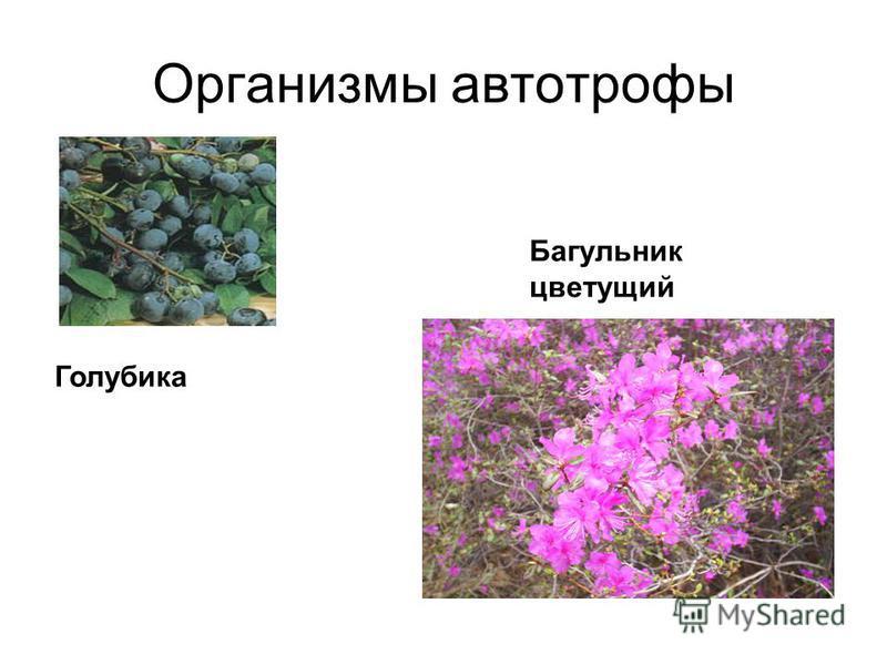 Организмы автотрофы Голубика Багульник цветущий