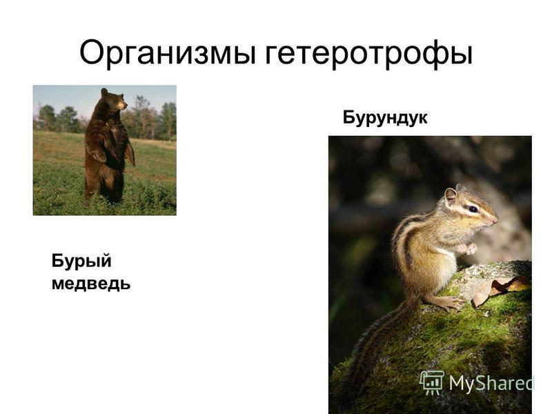 Организмы гетеротрофы Бурый медведь Бурундук