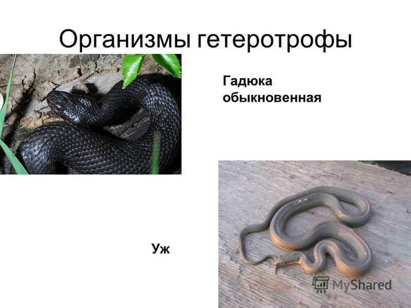 Организмы гетеротрофы Гадюка обыкновенная Уж