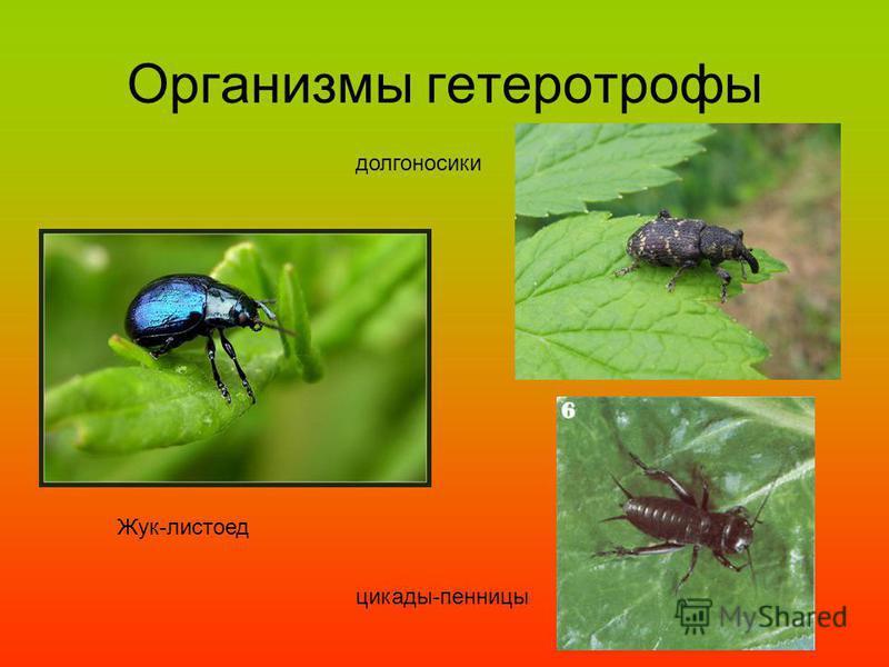 Организмы гетеротрофы Жук-листоед долгоносики цикады-пенницы