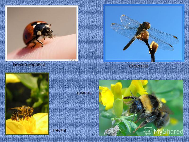 Божья коровка пчела шмель стрекоза