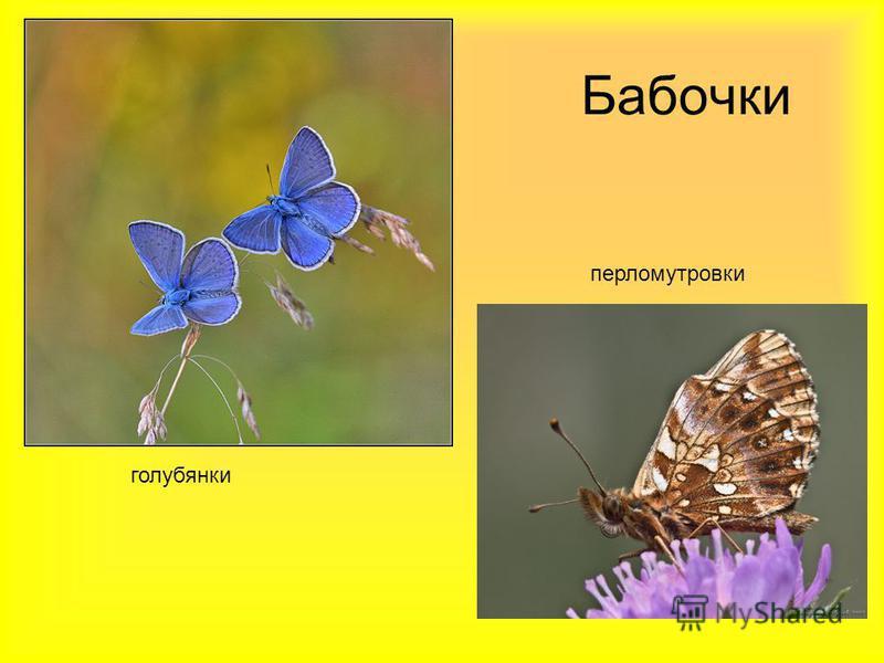 Бабочки голубянки перламутровки