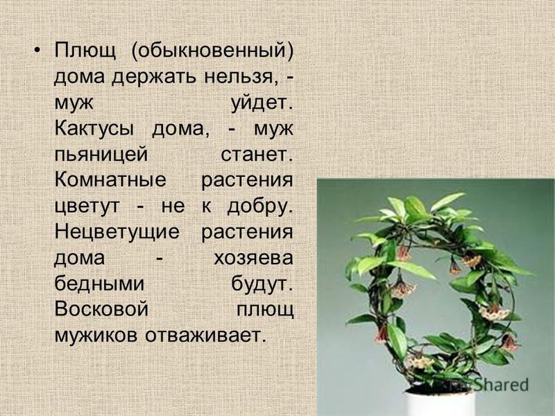 Плющ (обыкновенный) дома держать нельзя, - муж уйдет. Кактусы дома, - муж пьяницей станет. Комнатные растения цветут - не к добру. Нецветущие растения дома - хозяева бедными будут. Восковой плющ мужиков отваживает.