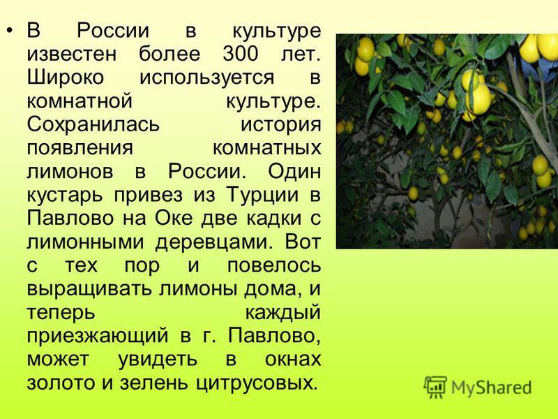 В России в культуре известен более 300 лет. Широко используется в комнатной культуре. Сохранилась история появления комнатных лимонов в России. Один кустарь привез из Турции в Павлово на Оке две кадки с лимонными деревцами. Вот с тех пор и повелось в