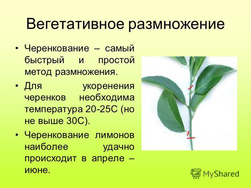 Вегетативное размножение Черенкование – самый быстрый и простой метод размножения. Для укоренения черенков необходима температура 20-25С (но не выше 30С). Черенкование лимонов наиболее удачно происходит в апреле – июне.