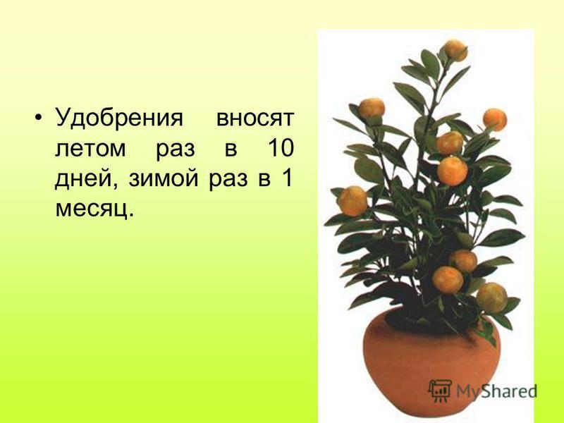 Удобрения вносят летом раз в 10 дней, зимой раз в 1 месяц.