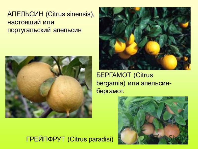 АПЕЛЬСИН (Citrus sinensis), настоящий или португальский апельсин БЕРГАМОТ (Citrus bergamia) или апельсин- бергамот. ГРЕЙПФРУТ (Citrus paradisi)