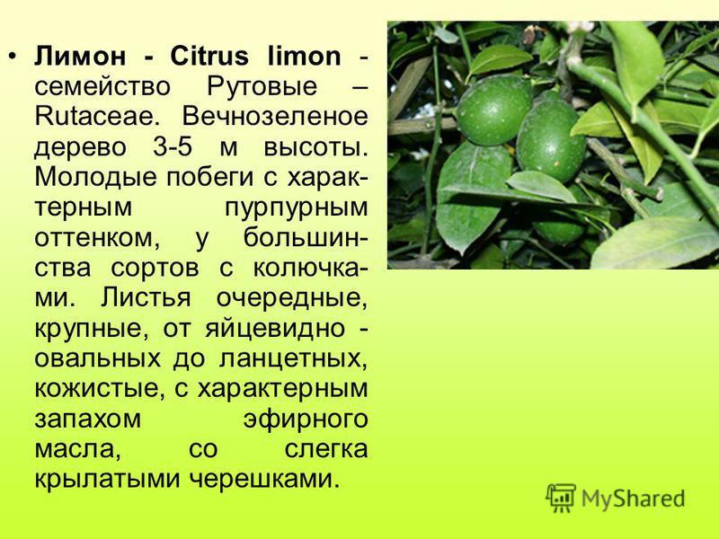 Лимон - Citrus limon - семейство Рутовые – Rutaceae. Вечнозеленое дерево 3-5 м высоты. Молодые побеги с характерным пурпурным оттенком, у большинства сортов с колючка- ми. Листья очередные, крупные, от яйцевидно - овальных до ланцетных, кожистые, с х
