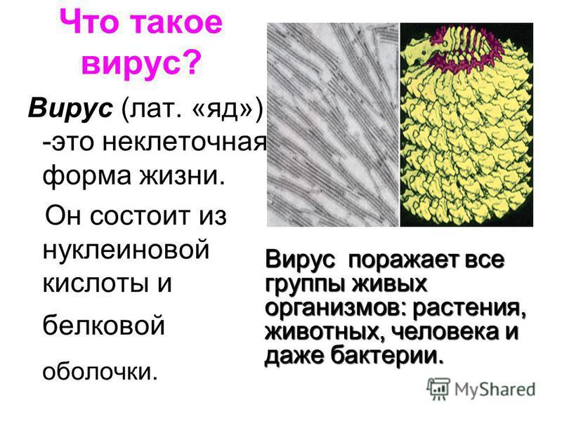 Что такое вирус? Вирус (лат. «яд») -это неклеточная форма жизни. Он состоит из нуклеиновой кислоты и белковой оболочки. Вирус поражает все группы живых организмов: растения, животных, человека и даже бактерии.