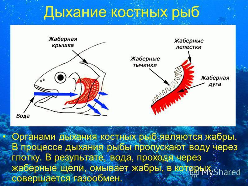 Дыхание костных рыб Органами дыхания костных рыб являются жабры. В процессе дыхания рыбы пропускают воду через глотку. В результате, вода, проходя через жаберные щели, омывает жабры, в которых совершается газообмен.