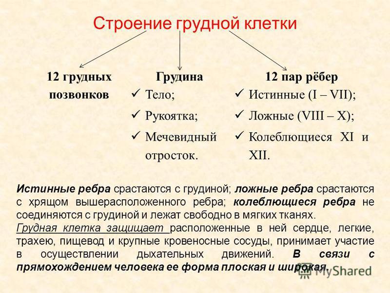Строение грудной клетки 12 грудных позвонков Грудина 12 пар рёбер Тело; Рукоятка; Мечевидный отросток. Истинные (I – VII); Ложные (VIII – X); Колеблющиеся XI и XII. Истинные ребра срастаются с грудиной; ложные ребра срастаются с хрящом вышерасположен