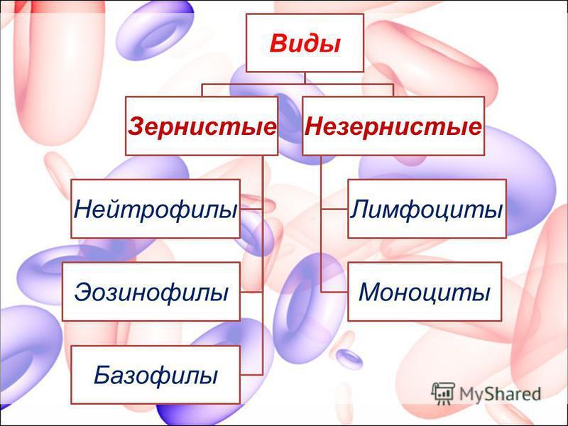 Виды Зернистые Нейтрофилы Эозинофилы Базофилы Незернистые Лимфоциты Моноциты