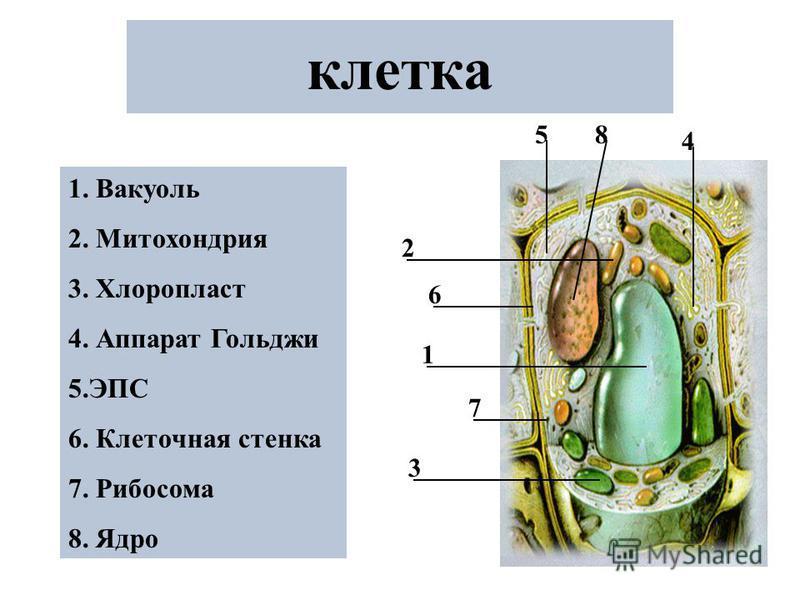 клетка 1 2 3 4 5 6 7 8 1. Вакуоль 2. Митохондрия 3. Хлоропласт 4. Аппарат Гольджи 5. ЭПС 6. Клеточная стенка 7. Рибосома 8. Ядро