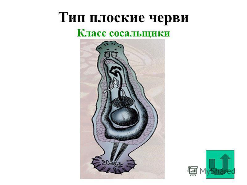 Тип плоские черви Класс сосальщики