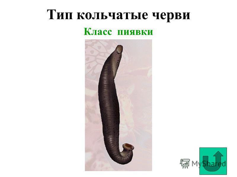 Тип кольчатые черви Класс пиявки