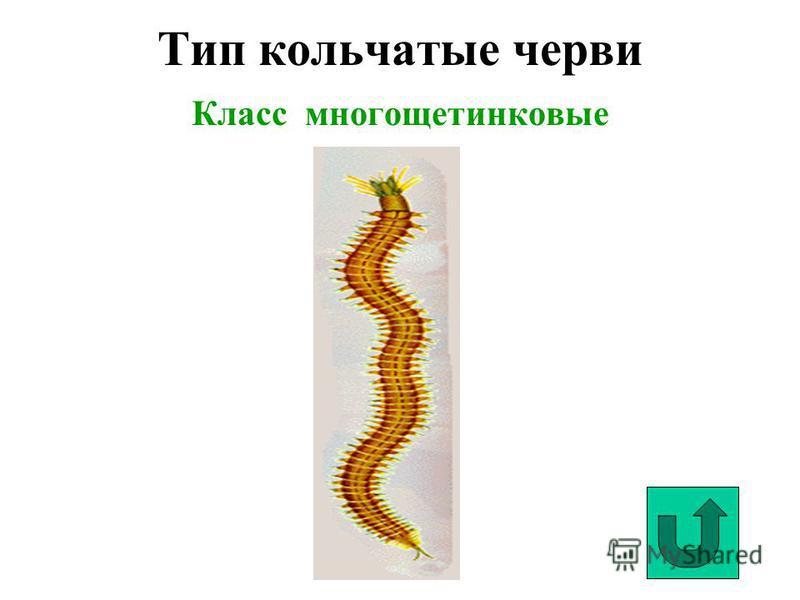 Тип кольчатые черви Класс многощетинковые