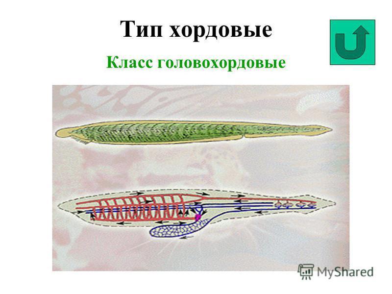 Тип хордовые Класс головохордовые