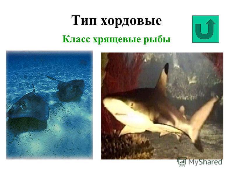 Тип хордовые Класс хрящевые рыбы