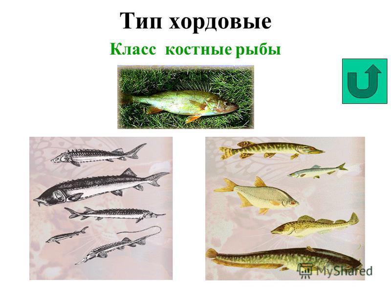 Тип хордовые Класс костные рыбы