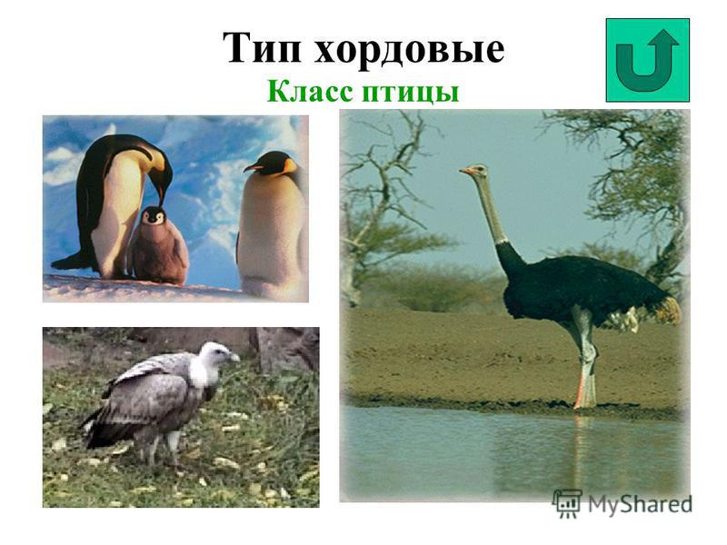 Тип хордовые Класс птицы