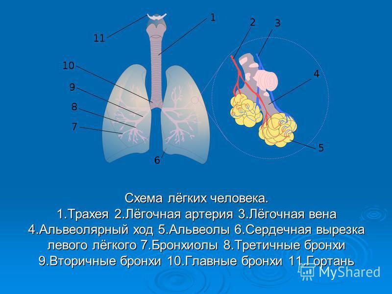 Схема лёгких человека. 1. Трахея 2.Лёгочная артерия 3.Лёгочная вена 4. Альвеолярный ход 5. Альвеолы 6. Сердечная вырезка левого лёгкого 7. Бронхиолы 8. Третичные бронхи 9. Вторичные бронхи 10. Главные бронхи 11.Гортань