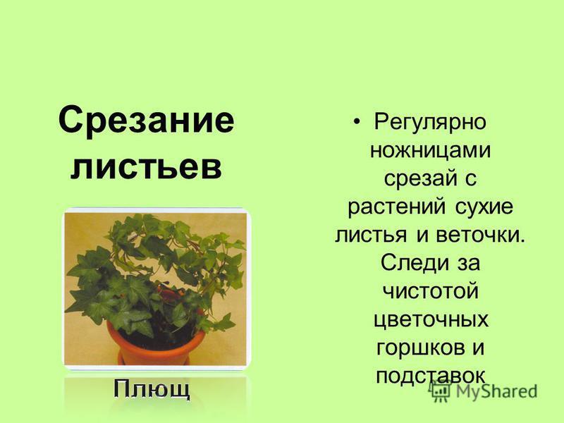 Срезание листьев Регулярно ножницами срезай с растений сухие листья и веточки. Следи за чистотой цветочных горшков и подставок