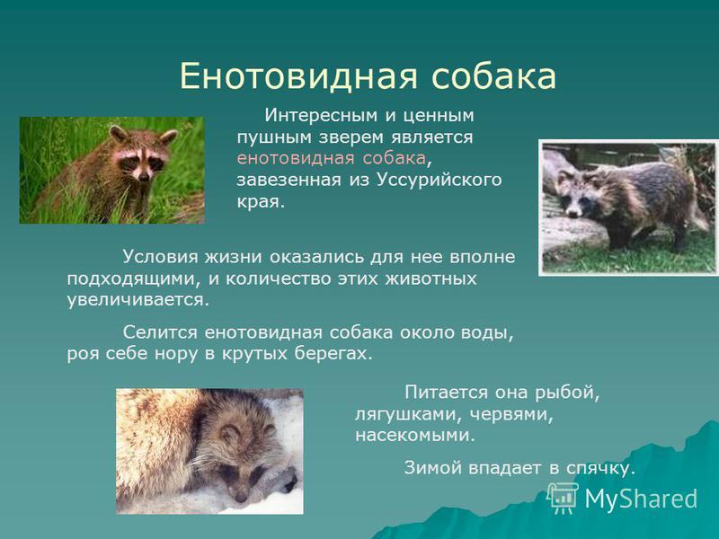 Енотовидная собака Интересным и ценным пушным зверем является енотовидная собака, завезенная из Уссурийского края. Условия жизни оказались для нее вполне подходящими, и количество этих животных увеличивается. Селится енотовидная собака около воды, ро