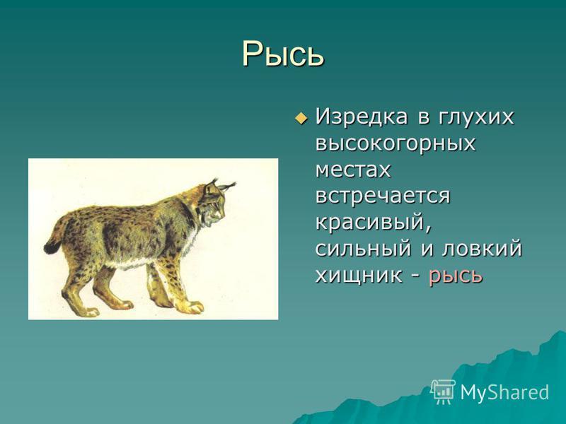 Рысь Изредка в глухих высокогорных местах встречается красивый, сильный и ловкий хищник - рысь