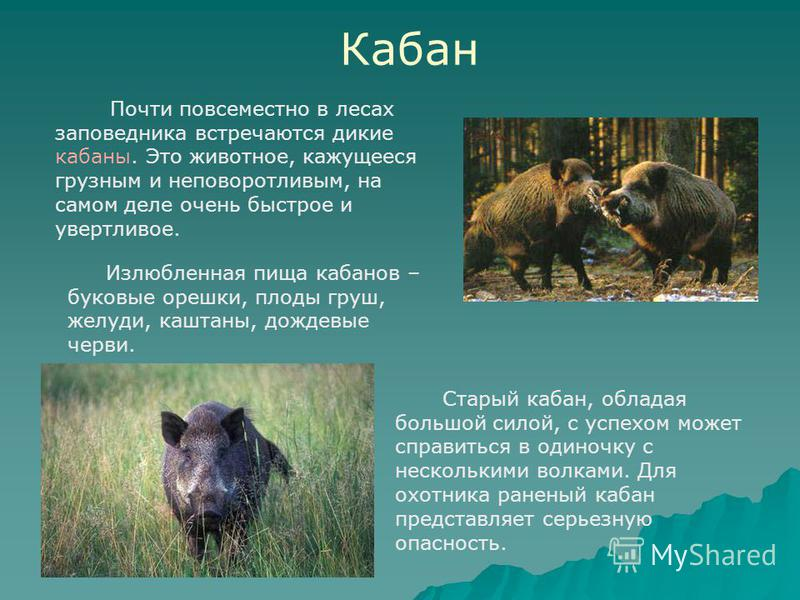 Кабан Почти повсеместно в лесах заповедника встречаются дикие кабаны. Это животное, кажущееся грузным и неповоротливым, на самом деле очень быстрое и увертливое. Старый кабан, обладая большой силой, с успехом может справиться в одиночку с несколькими