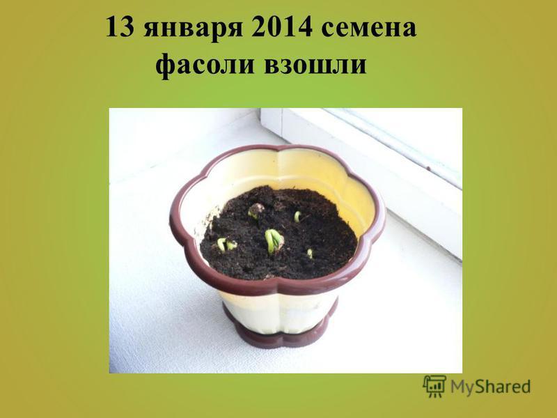 13 января 2014 семена фасоли взошли