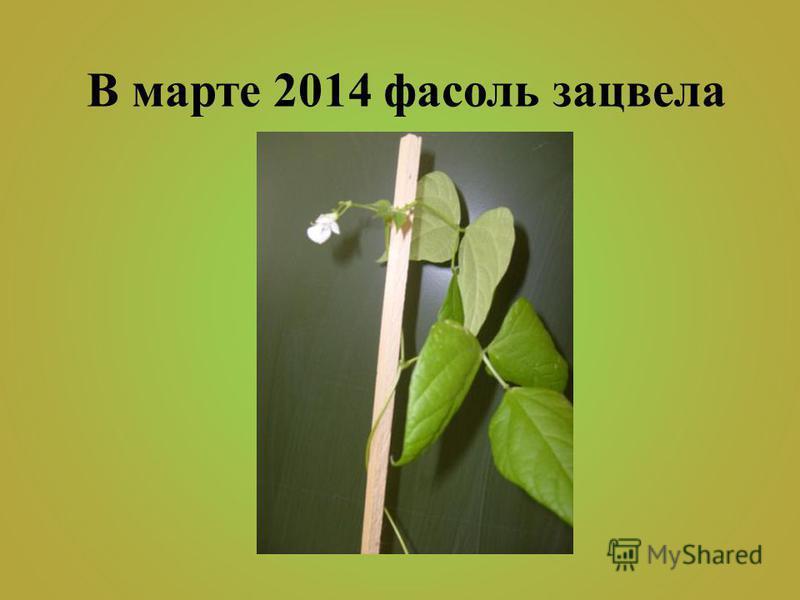 В марте 2014 фасоль зацвела