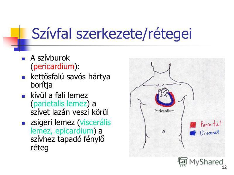 12 Szívfal szerkezete/rétegei A szívburok (pericardium): kettősfalú savós hártya borítja kívül a fali lemez (parietalis lemez) a szívet lazán veszi körül zsigeri lemez (viscerális lemez, epicardium) a szívhez tapadó fénylő réteg