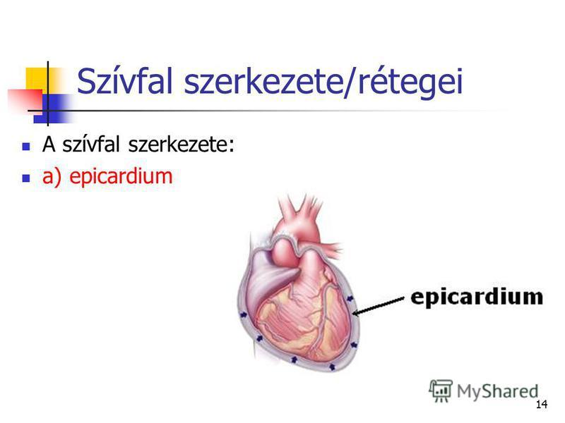 14 Szívfal szerkezete/rétegei A szívfal szerkezete: a) epicardium