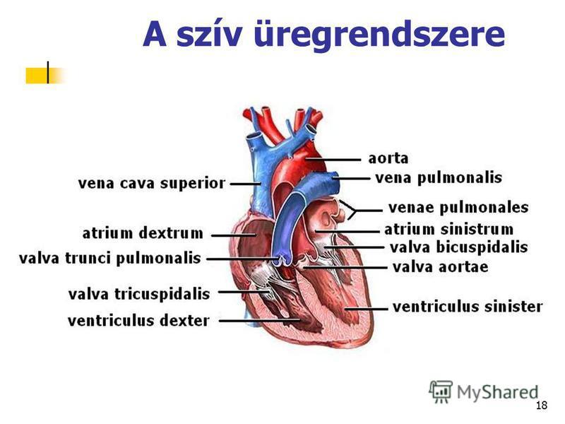 18 A szív üregrendszere