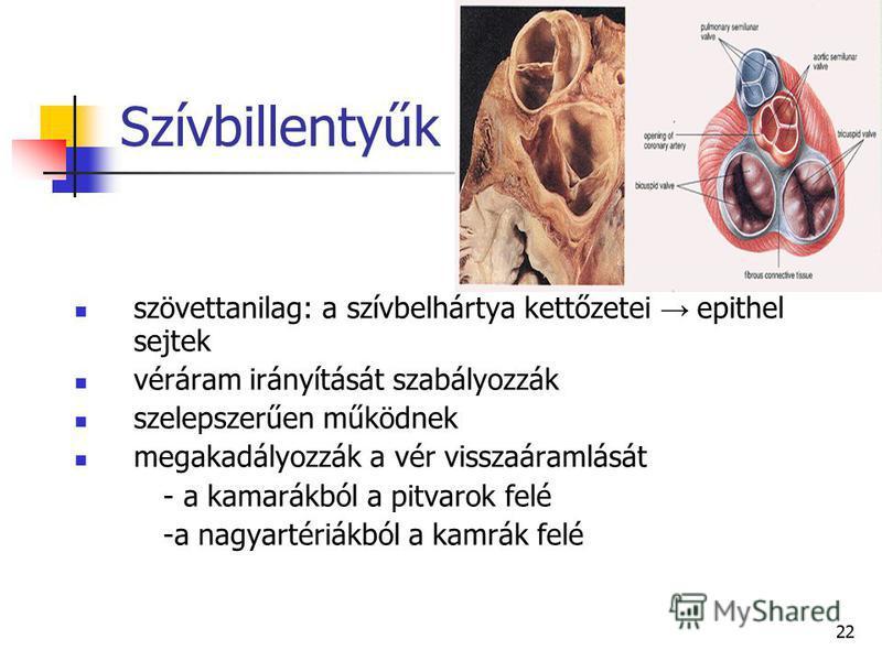 22 Szívbillentyűk szövettanilag: a szívbelhártya kettőzetei epithel sejtek véráram irányítását szabályozzák szelepszerűen működnek megakadályozzák a vér visszaáramlását - a kamarákból a pitvarok felé -a nagyartériákból a kamrák felé